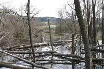 Ukázka bobřího řádění na Domažlicku.