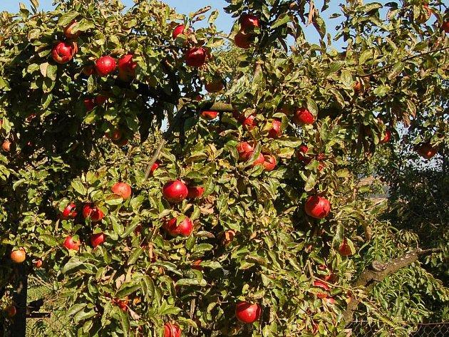 Jabloně jsou jedinými ovocnými stromy kpronájmu usilnic na Domažlicku.