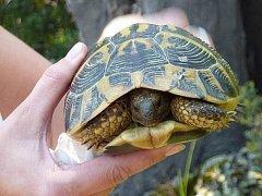 Prodej chráněných želv je nelegální. Ilustrační foto