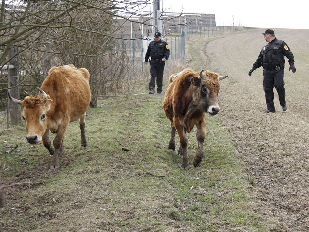 Dražba týraného dobytka ve Staňkově.