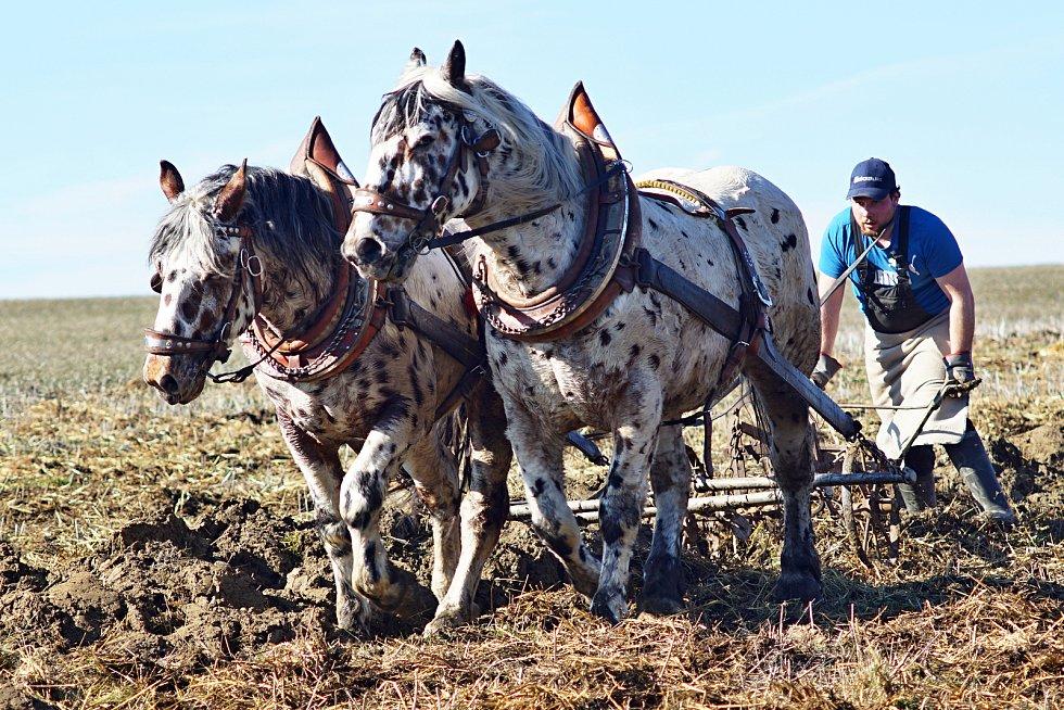 Orba. Koně využívá  pro orání pole.