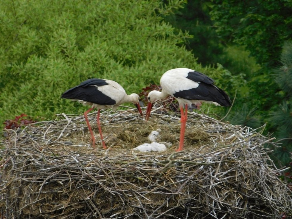 Údržba čapích hnízd se dělá každý rok.