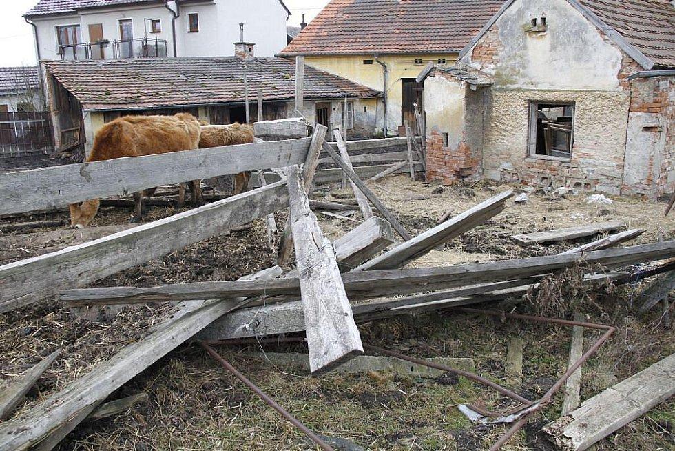 Týraný skot ve Staňkově.
