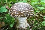 MUCHOMŮRKA TYGROVANÁ, prudce jedovatá houba, zaměnitelná s muchomůrkou růžovkou .