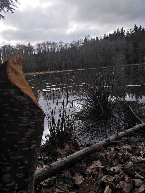Bobr řádí na Radošovském rybníku v Zelenově u Domažlic.