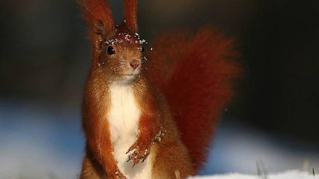 Sněhová královna. Tento snímek veverky byl ve chvilce prodaný.