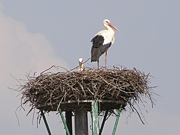 Čáp bedlivě střeží manželku sedící na hnízdě.