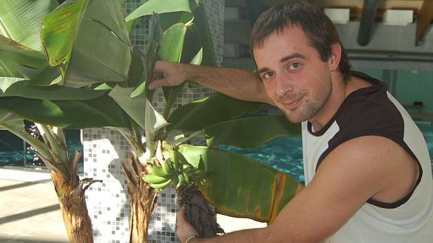 Plavčík Erik Baka ukazuje trs banánů, které právě dozrávají v Centru vodní zábavy ve Kdyni.