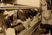 Krmení krav v roce 1956.