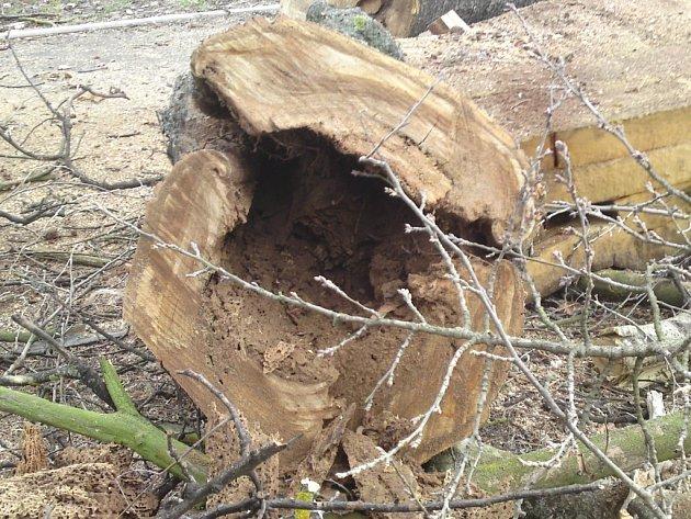 Prohnilá dutina uvnitř stoletého topolu.