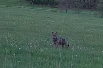 Fotografie, na níž je pravděpodobně vlk. Zvíře se pohybuje kolem Rybníku.
