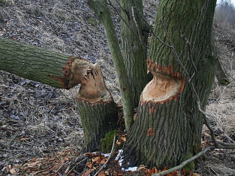 Řádění bobra. Ilustrační foto