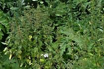 KOPŘIVY ani jiný plevel v příhraničním Rybníku nestrpí.