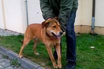 Pes nalezený v Jeníkovicích. Majitel se může přihlásit v meclově.