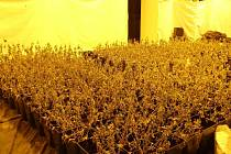 Policie nalezla v Krchlebech stovky rostlin konopí. Byly již zaschlé, povedení ´zahradníci´ zmizeli s předstihem.