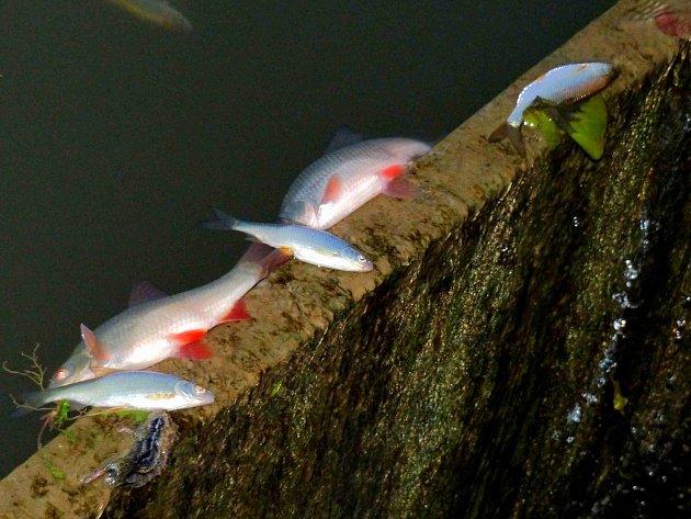 V TLUMAČOVĚ hynuly hlavně menší ryby, mrtvé putovaly až k přepadu a přes něj do výtoku z rybníka.