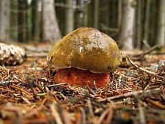 Hřib kovář. Letošní suchý květen růstu hřibovitých hub nesvědčí.