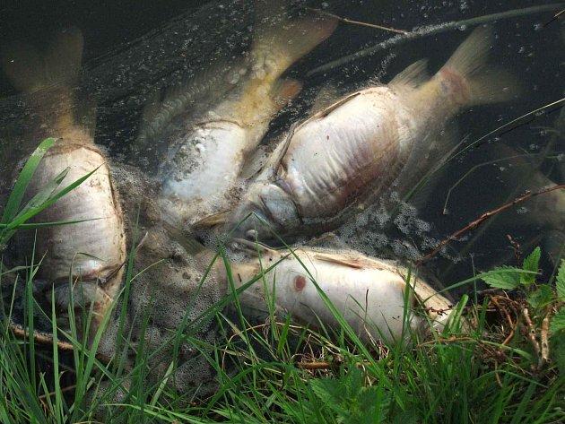 UHYNULÉ RYBY Z CHOVNÉHO FROŇKOVA RYBNÍKU. Domažličtí rybáři nyní čekají na závěry odboru životního prostředí a policie, zda se jim vůbec podaří viníka otravy ryb vypátrat.