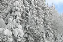 TĚŽKÝ SNÍH LESŮM NESVĚDČÍ. Leckomu se mohou líbit bílé kabátky na stromech. Sníh ohýbá větve, pak může lámat špičky stromů a po zmírnění mrazů se kácí k zemi celé kmeny.