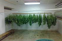 Pouze část zajištěných rostlin. Po sklizni je nutné kytky usušit, věší se proto palicemi dolů, aby šťáva s obsahem THC natekla do listů a palic.Po usušení a testech k získání důkazů se vše zlikviduje.