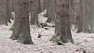Kolem Rybníku se zřejmě toulá vlk.