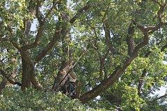 ODBORNÝ ZÁSAH v korunách nemanických dubů provedl zkušený arborista.