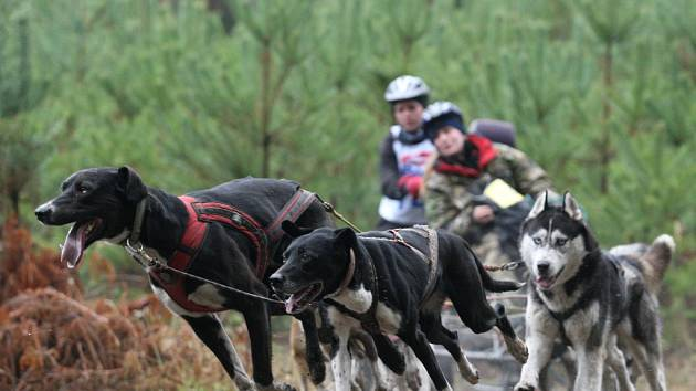 Hradecký mid - závod psích spřežení v Bělči nad Orlicí.