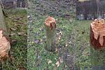Neznámý vandal zničil strom v Malšovicích.