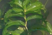Kriticky ohrožený rdest dlouholistý roste už jen ve slepém rameni Orlice v Malšově Lhotě.