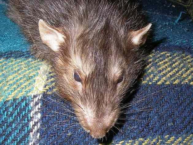 Domácnosti se nemusejí obávat útoku potkanů