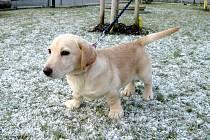 Kříženec jezevčíka: jméno: Back, pohlaví: pes, věk: 3 měsíce, barva: krémová, odhadovaná velikost v kohoutku v dospělosti: 40 cm. Hravé štěně křížence vyrovnané přátelské povahy, odčervené, očkované, čipované.  Nelze chovat trvale venku.