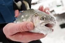 Rybník v Holohlavech je přes zimu plný rybářů z celého regionu. Láká je sem lov ryb dírami vyvrtanými do ledu.
