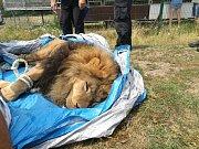 Chytání lva ve Štítu.