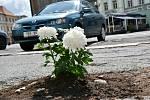 """Neznámý """"zahradník"""" vylepšuje tankodrom na hradeckém Velkém náměstí po svém. Sází do děravé komunikace květiny."""