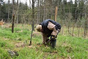Stromy za staré věci. V městských lesích bylo vysazeno šest set nových dubů