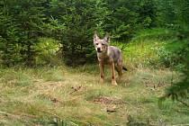 Genetické analýzy podle ochranářů potvrdily, že vlci na Broumovsko přišli z oblasti Bory Dolnoslaskie v Polsku – asi 100 kilometrů severozápadně od Broumovska, která je součástí takzvané lužické populace vlka.