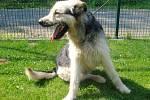 Kříženec: jméno: Gerry, pohlaví: pes, věk: 5 let, barva: černošedá, velikost v kohoutku: 60 cm. Hravý, přátelský, drsnosrstý kříženec, vhodný k domku se zahradou. Na nově příchozí spolehlivě upozorní štěkotem.