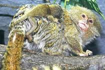 Kosman zakrslý, samice s mládětem