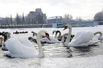 Zamrzlé hladiny řek komplikují labutím život v zimovištích i v Hradci Králové.