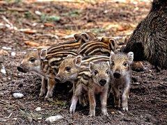 V hradeckých lesích se narodilo deset selátek.