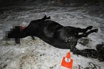 Další střet auta s koněm. Ani na Hradecku kůň nehodu nepřežil.