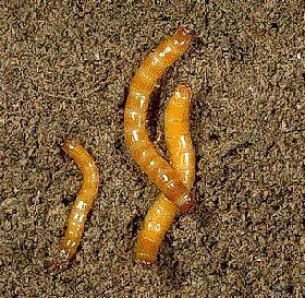 Někde jsou larvy a hmyz pochotkou, o našich končinách to však neplatí.