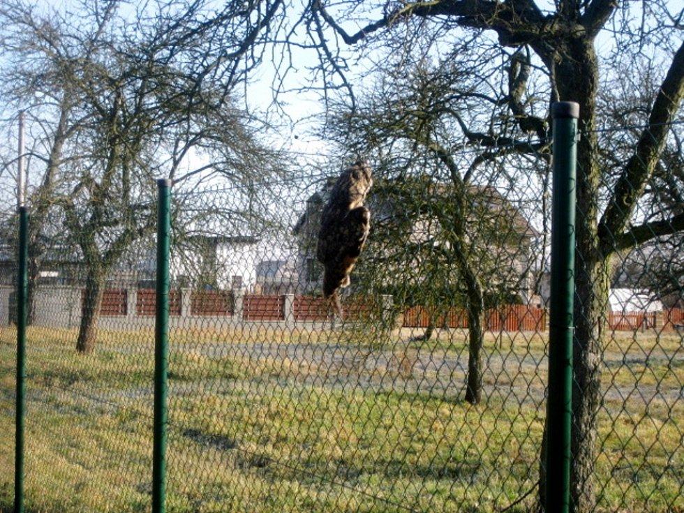 Záchrana sovy uvízlé v plotu v Hradci Králové.