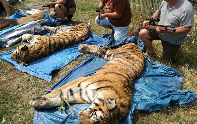 Chytání tygrů a lva ve Štítu.