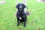 Kříženec labradora: jméno: Bojar, pohlaví: pes, věk:  4,5 roku, barva: černá s náprsenkou, velikost v kohoutku: 50cm. Je velmi silný, moudrý a přátelský. Pokud bude chován trvale venku, potřebuje dobře zateplenou boudu.
