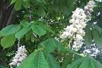 V Japonsku mají sakury, v Hradci Králové kvetou kaštany.