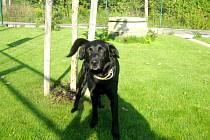 Kříženec: jméno: Márli, pohlaví: pes, věk: 3,5 roku, barva: černá, velikost v kohoutku: 50 cm. Přátelský pohledný kříženec větší velikosti. Ovladatelný, kontaktní, vynikající společník k výletům do přírody a dlouhým procházkám. Vhodný k domku se zahradou.
