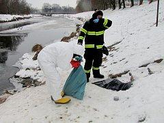 Sběr uhynulého ptactva na řece u vodní elektrárny Hučák v Hradci Králové.