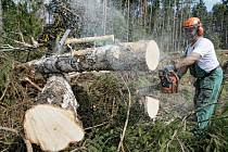 Těžba dřeva v hradeckých lesích.