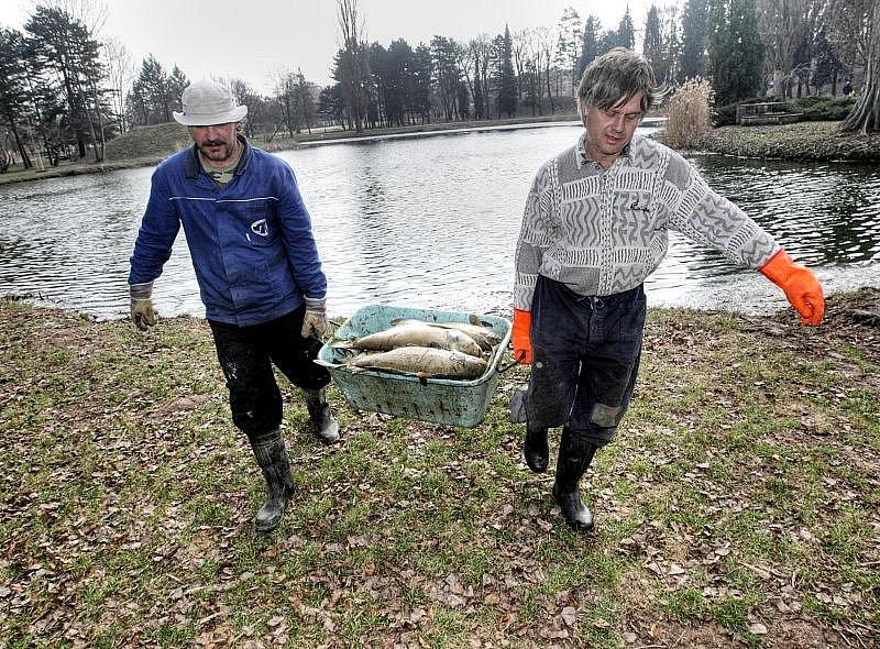 Uhynulé ryby v Šimkových sadech v Hradci Králové, 25. března 2010.